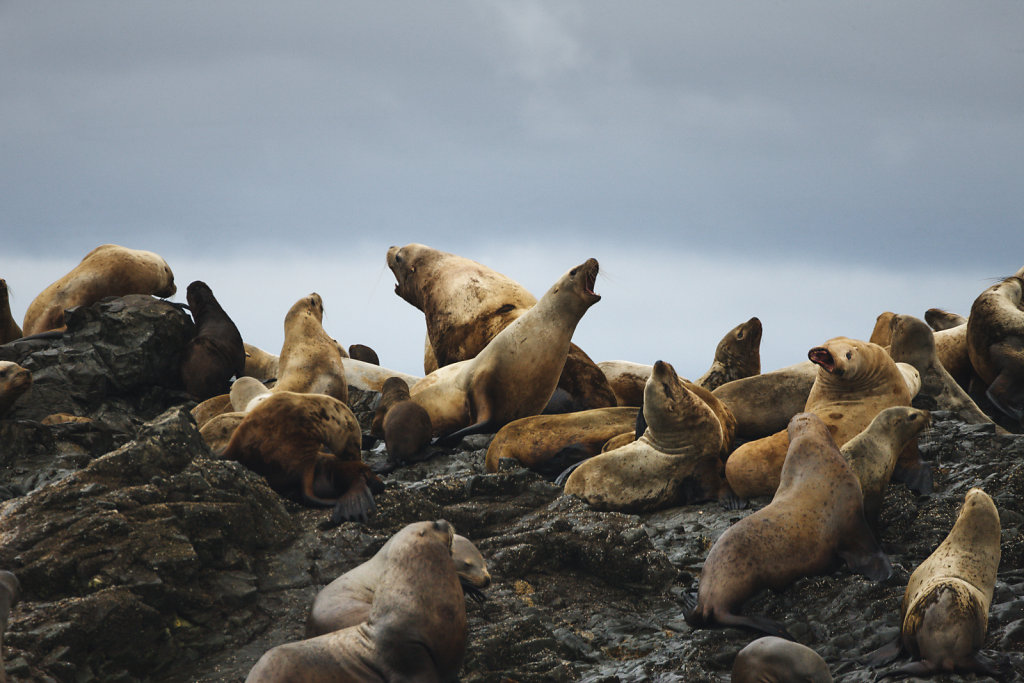 Sea Lions near Dutch Group, Prince William Sound