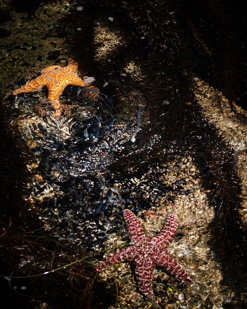 Monterey Star fish
